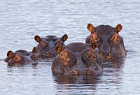 Wary Hippos
