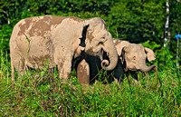 Pygmy Elephant Mother and Calf