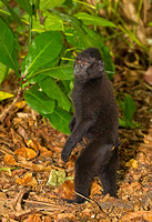 Black-Crested Macaque Standing