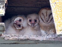 Barn Owl Parent and Owlets