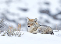 Coyote Resting on Snowbank