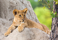 Cub Resting at Termite Mound
