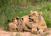 Cubs Feeding with Mom