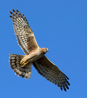 Northern Harrier Circling