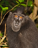 Black-Crested Macaque