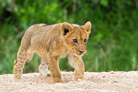 Cub Walking Over Sand River